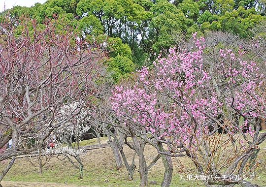 枚岡神社の梅林を見てきました