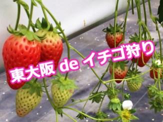東大阪 de イチゴ狩り