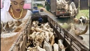 Magal: le troupeau de bœufs de Sokhna Aida Diallo est arrivé à Touba