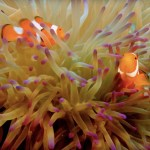 photo: clownfish in a sea anemone - for Dr. Sylvia Earle video on protecting our oceans