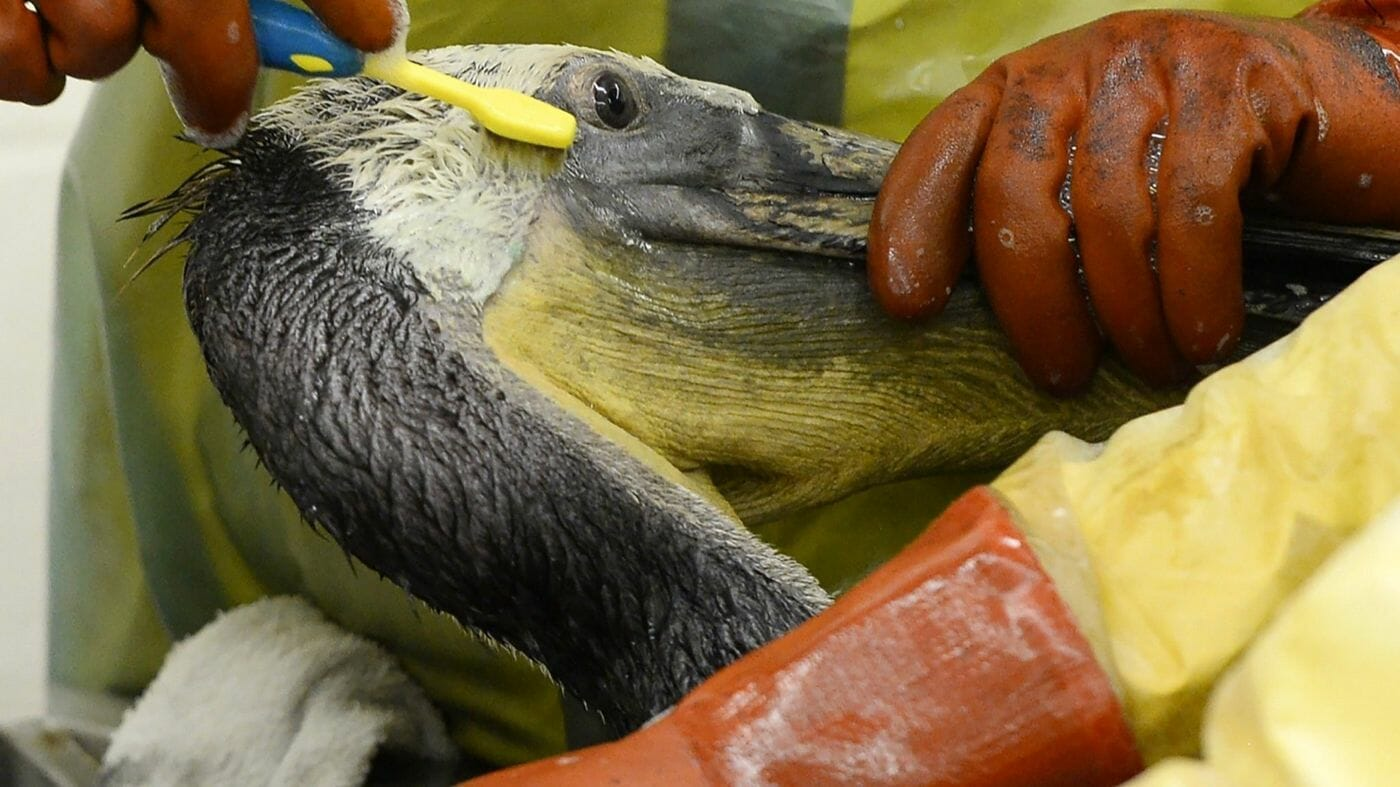 Photo: cleaning oil-contaminated wildlife. Pipeline firm found guilty of criminal charges in Santa Barbara oil spill