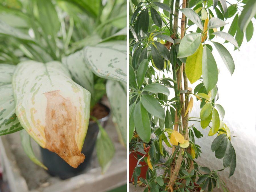 Pflanze oder Blume mit zu viel Wasser - übergossen