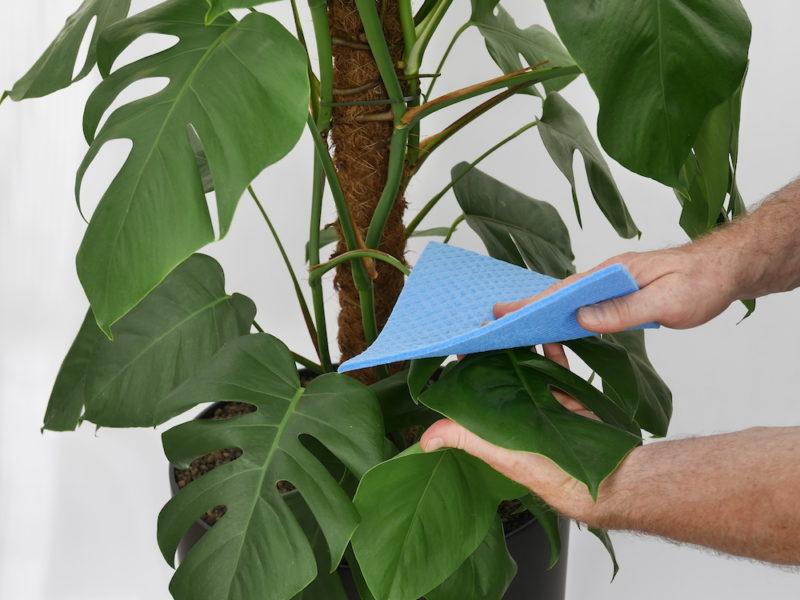 Pflanze mit Schwammtuch putzen