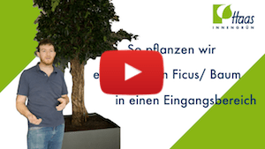 Baum Pflanzen Thumbnail - Haas Innengrün