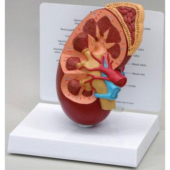 ZKJ784A-Kidney_Adrenal_Section