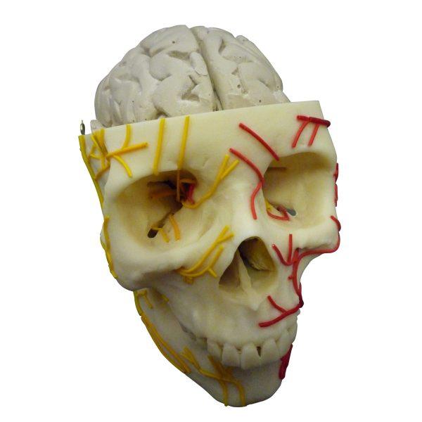 zkh180s-Brain In Skull