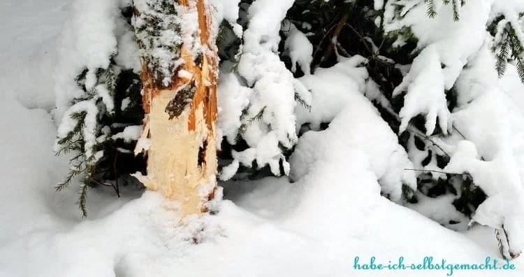 Winterwandern Goldsteig - Baum mit Biberspuren