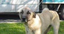 Bataklıktan kurtarılan köpek Nilüfer'de yaşama tutundu