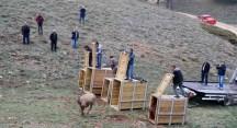Bursa'da yetiştirilen 5 kızıl geyik Bilecik'te tabiatla buluştu