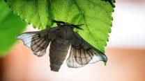İpek Böceğinin yaşam öyküsü ABD'de