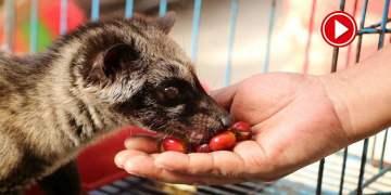 Kedi dışkısından üretilen kahvenin kilosu bin dolara satılıyor (VİDEOLU)