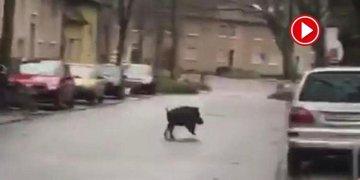 Almanya'da yaban domuzu şehre indi