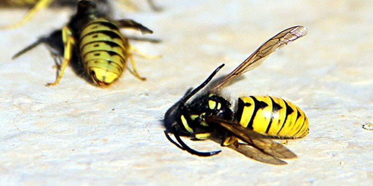 İklim değişikliği yaban arıların neslini düşürüyor