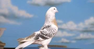 Bu güvercin 1,3 milyon euro