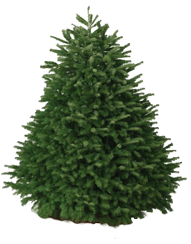 Hawaii Christmas Trees | 6-7 ft Nordmann Fir Christmas Tree Hawaii