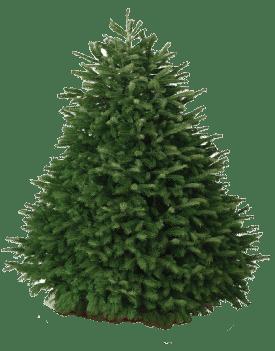 nordmann fir christmas tree hawaii