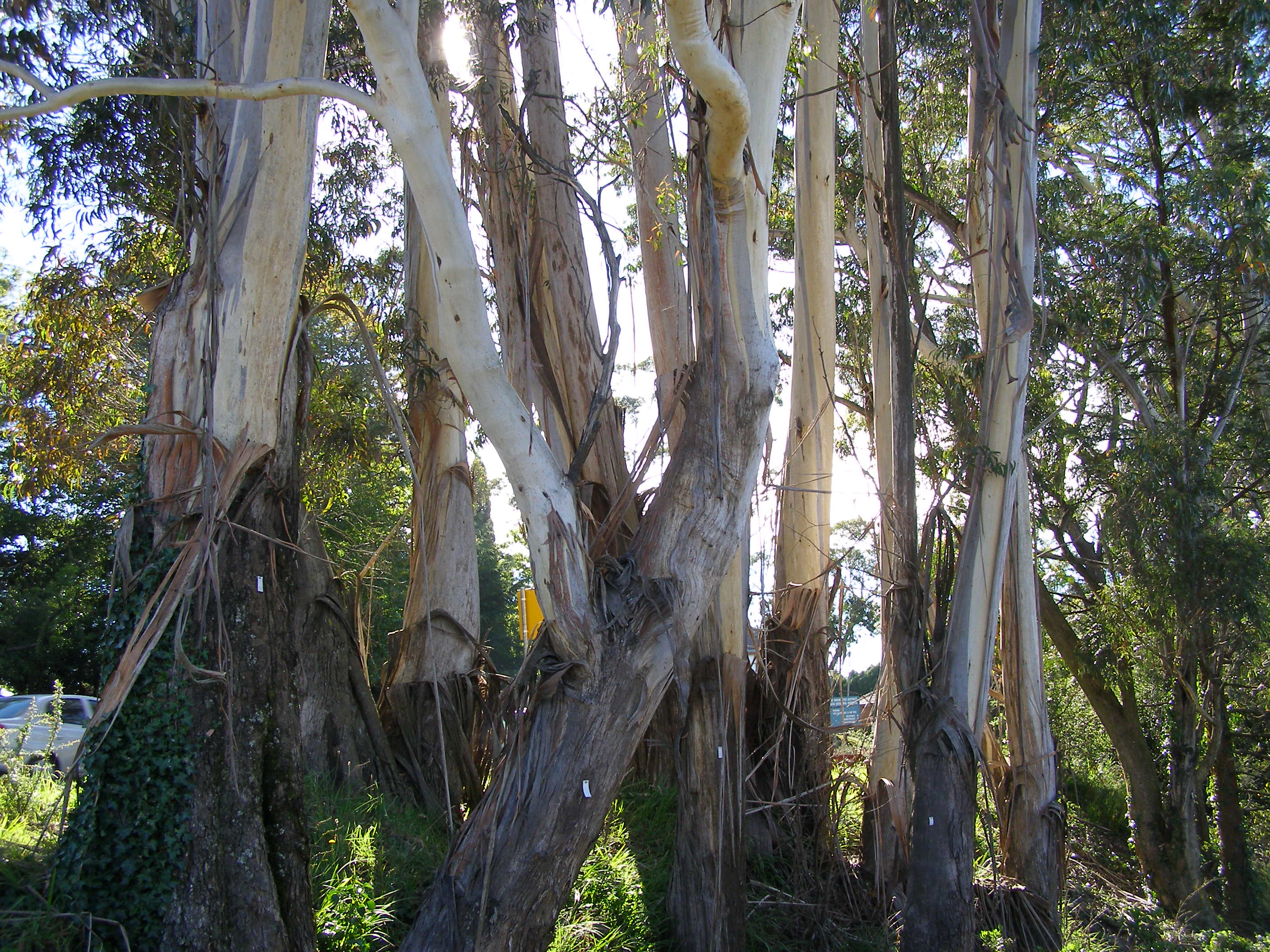 Blue Mountains Significant Tree Register A Lie
