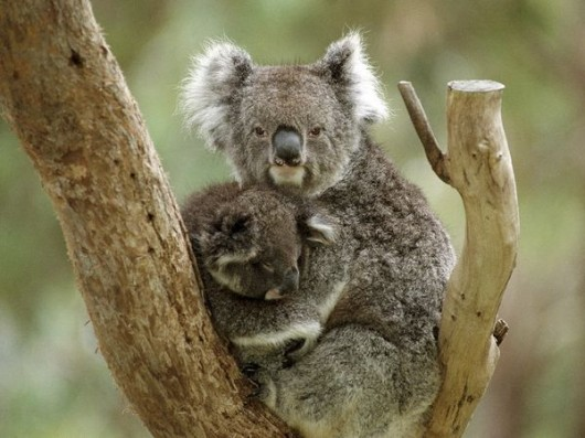koala referral guidelines queensland planning act