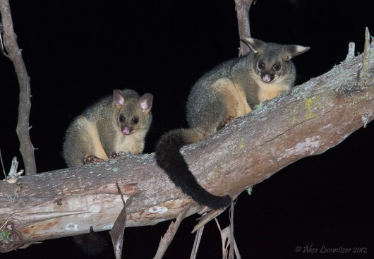 2fff3735732 The Habitat Advocate » Blog Archive » Brushtail Possum a NZ backyard ...