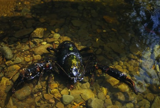 Tarkine's Giant Freshwater Crayfish -Astacopsis Gouldi (Photo by Ted Mead)