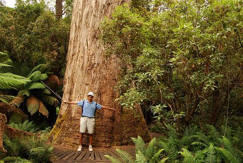 Tasmanian Oak (Eucalyptus regnans)