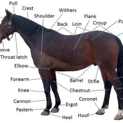 Horse Skeleton Diagram Labeled Marine Amplifier Wiring Kit Habitat For Horses Kids Corral Body Parts