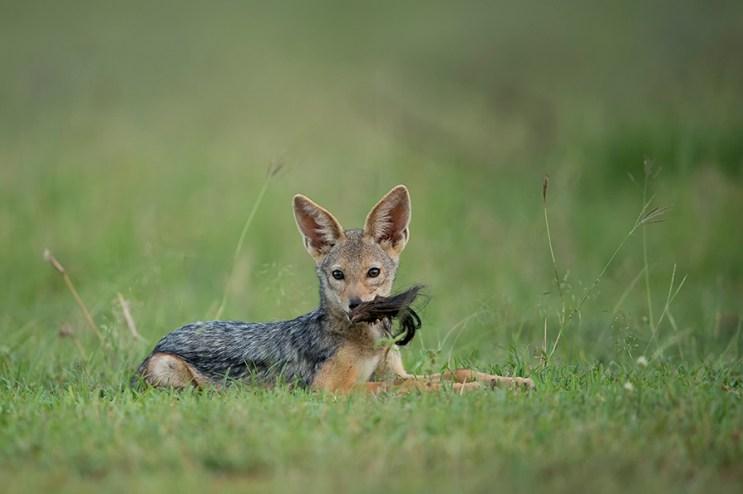 Singita-Serengeti-House-Wildlife4
