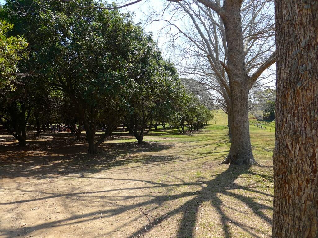 Pecan Nut Orchard