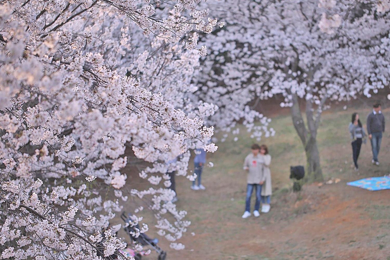 Paju Osan-ri Cherry Blossom Garden
