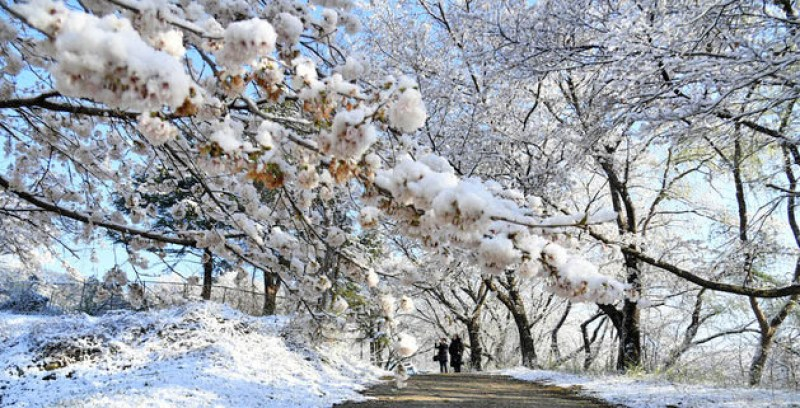 Snow in the spring in Korea - cherry blossoms in full bloom turned into snow flakes