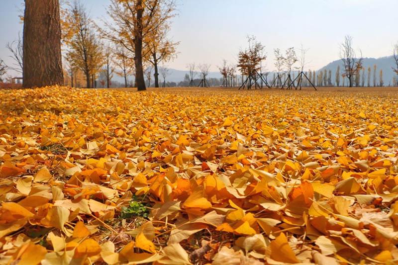 Gangcheon Island Ginkgo Tree Road - Korea Autumn destination