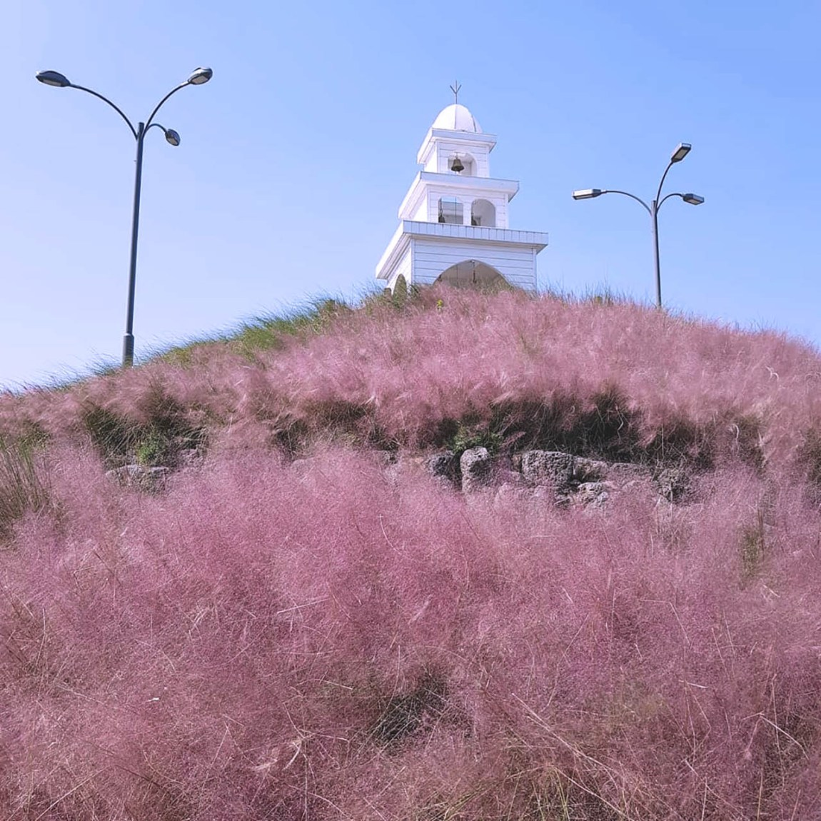 """Jeju Island Pink Muhly"" available until early December"