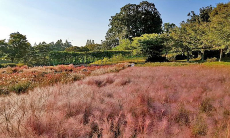 Seoul's Best Pink Muhly Spots in Autumn