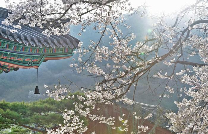 jeonju cherry blossom
