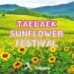 taebaek sunflower festival Korea, Hab Korea