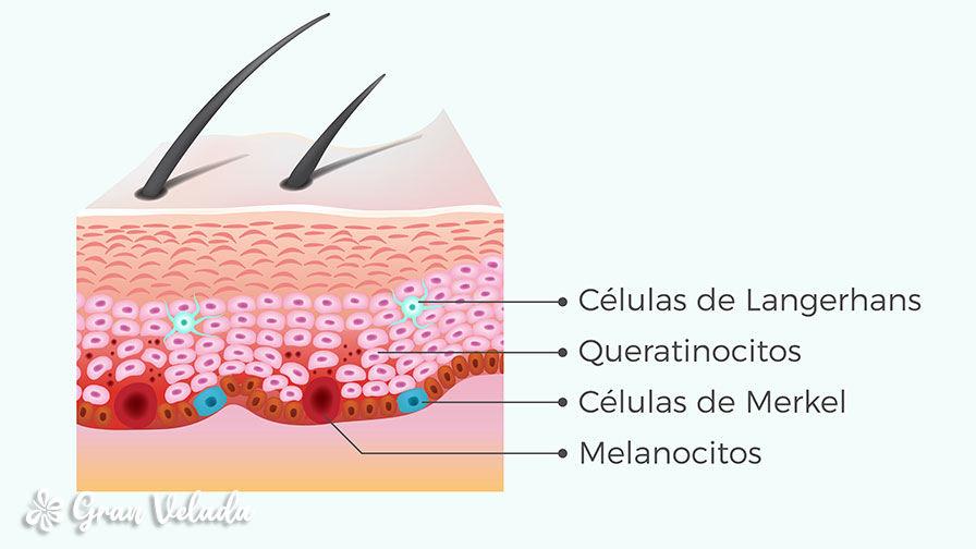 Celulas de la epidermis