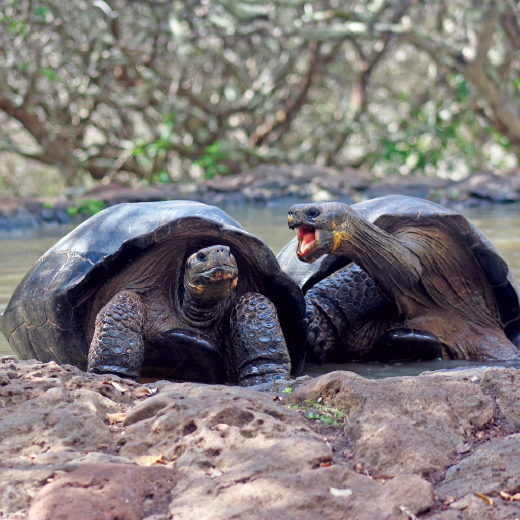two giant tortoises standing in sand