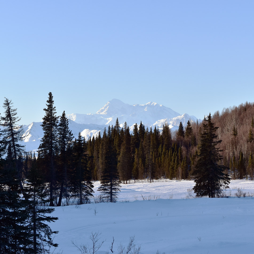 views of Denali mountain over a line of trees