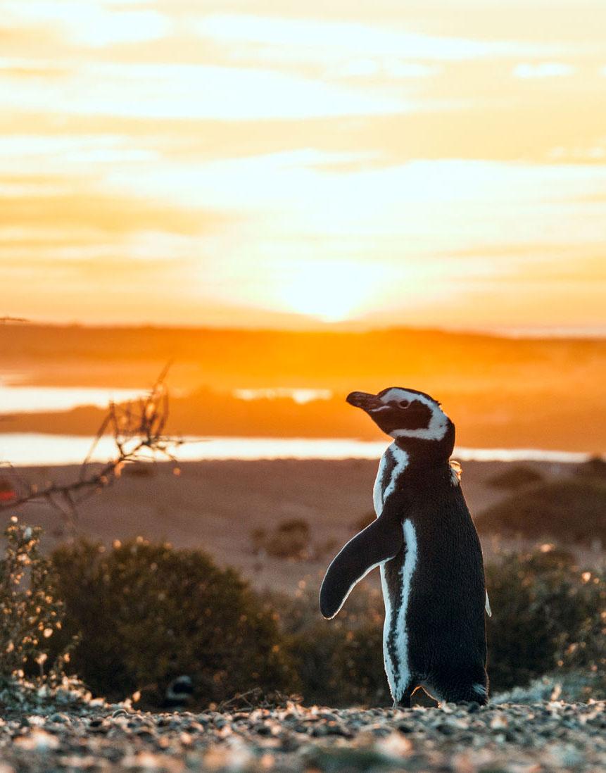 Magellanic penguin at sunrise at Punta Tombo Argentina