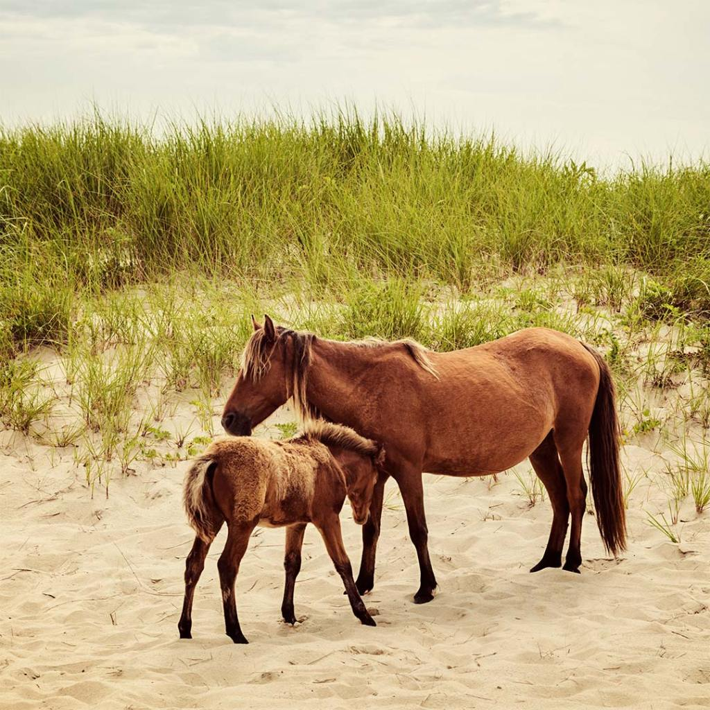 Wild mare and foal on Sable Island in Nova Scotia