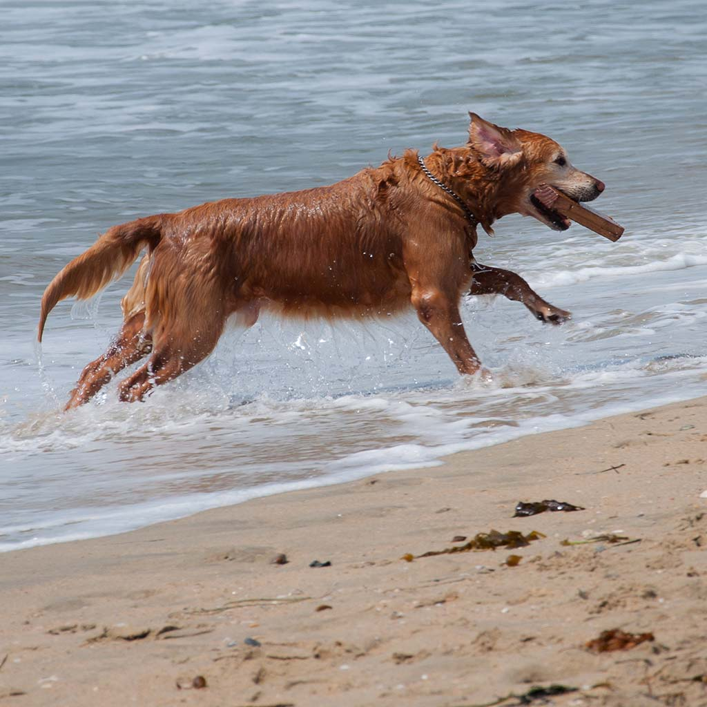 A dark golden retriever leaps out of the water with a wooden stick in its mouth