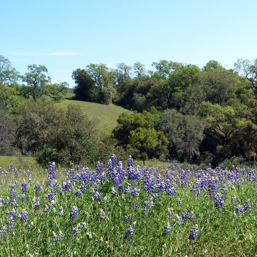 A field of lupine flowers in Napa.