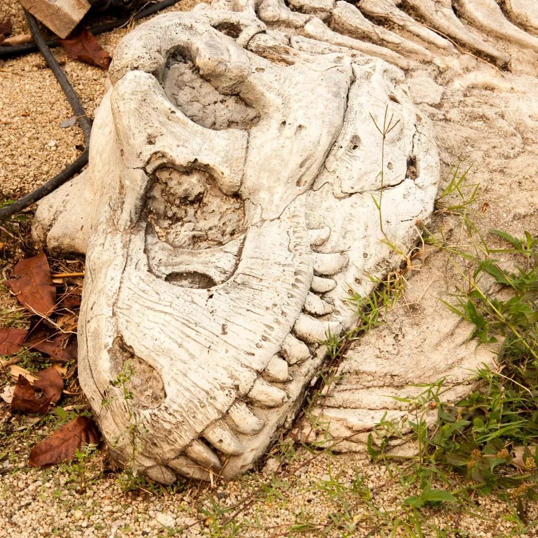 dinosaur skull