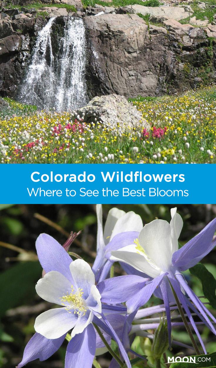 Colorado wildflowers Pinterest graphic