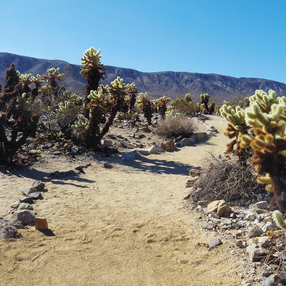 Trail through the Cholla Cactus Garden