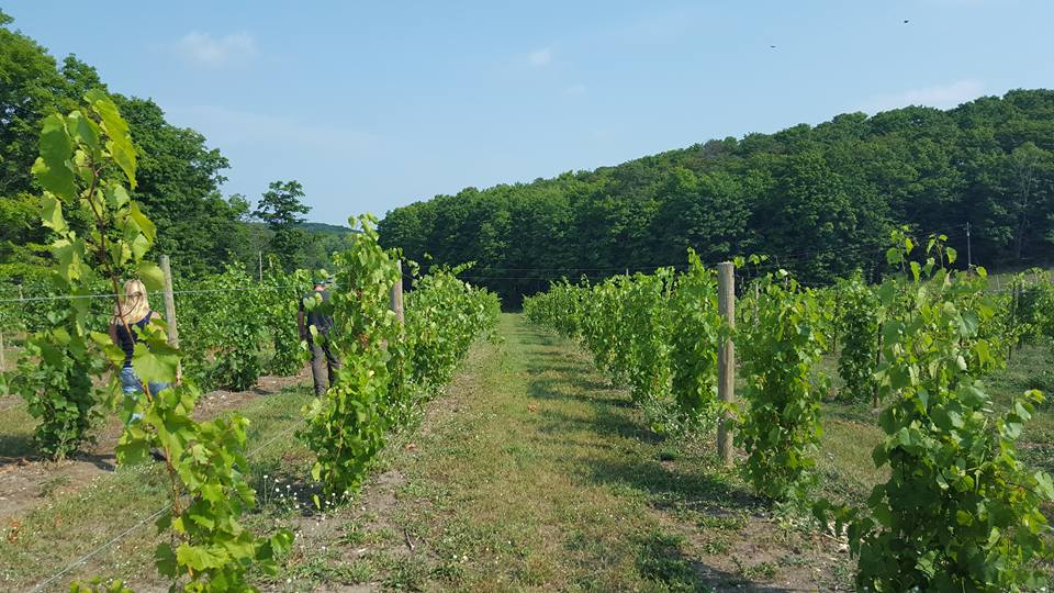 Grapes on the vine in a Marquette vineyard on Michigan's Upper Peninsula.