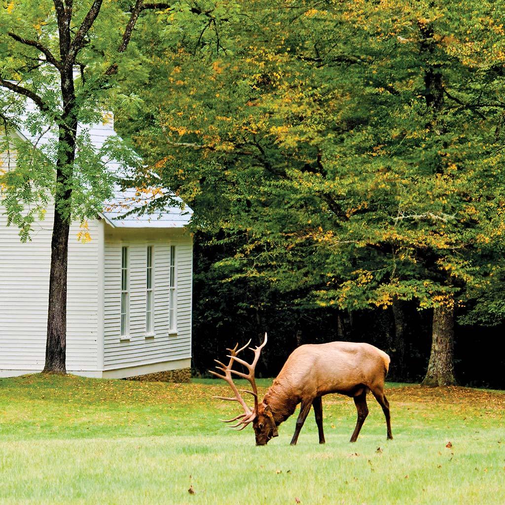 Bull Elk feeding on grass near a little white church in Cataloochee.