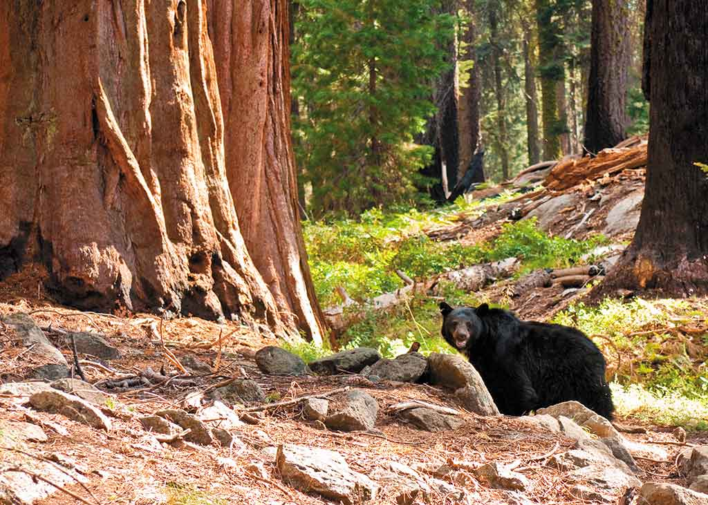 black bear standing by a redwood tree in sequoia national park