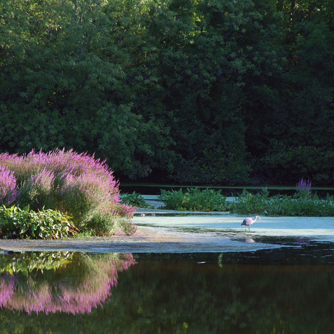 A great blue heron hunts along the Blackstone River in Rhode Island.