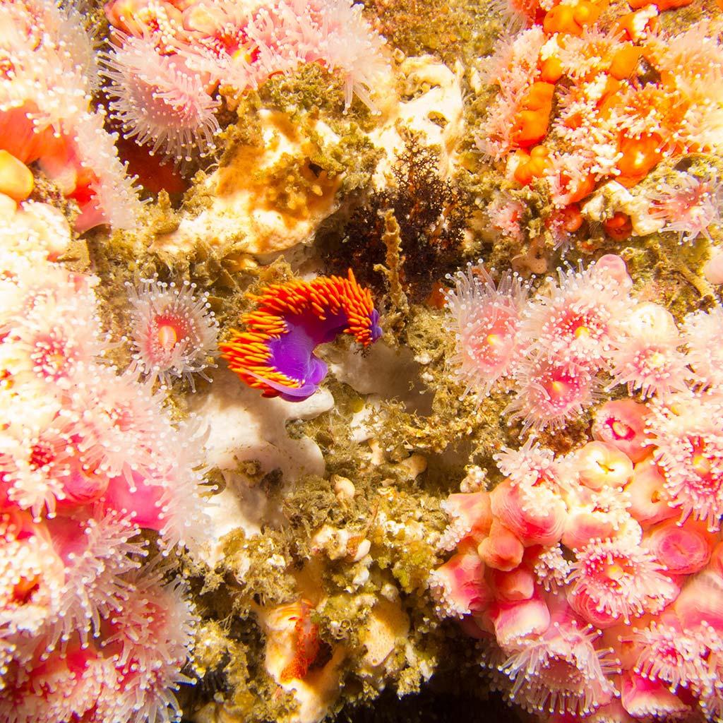 Pink, orange, and purple sea anemones under the sea at Anacapa Island